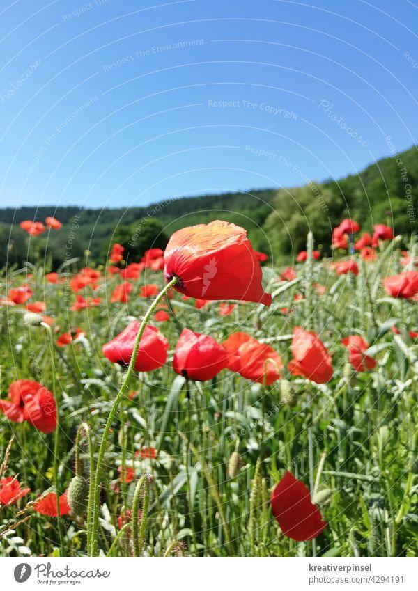 Poppies in the wind 🍃 Poppy Poppy field Poppy blossom poppies poppy meadow poppy flower Summer Meadow Corn poppy red poppy Field Flower Red Idyll Plant Deserted