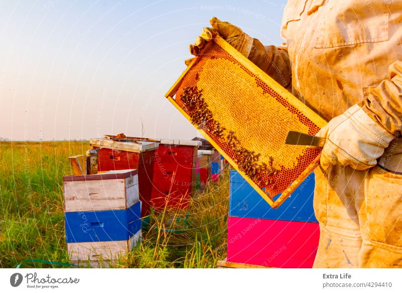 Apiarist, beekeeper is holding sealed full honeycomb with honey Agriculture Allotment Apiary Apiculture Arranged Bee Beehive Beekeeper Beekeeping Bees Beeswax