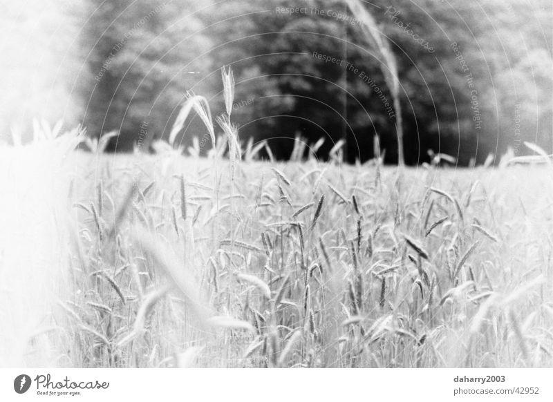 cornfield Wheat Near Grain eras Bed in