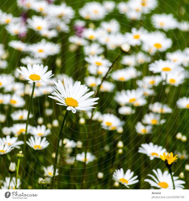 more daisies marguerites Flower meadow Meadow flower White Summer Green naturally Nature Summery Garden Summer's day blossom Blossom Blossoming blossoms