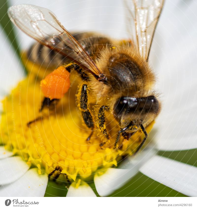 passion for collecting Bee Flower Diligent Marguerite naturally Crawl To enjoy Accumulate Joie de vivre (Vitality) Sustainability Fragrance Pollen Plant Blossom