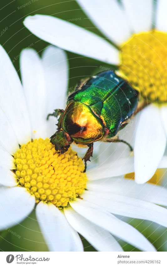 Rose beetle on the loose Marguerite Beetle White Yellow Green Glittering golden Dazzling Crawl Blossom Pollen pollination pollen blossom Garden Summer Meadow