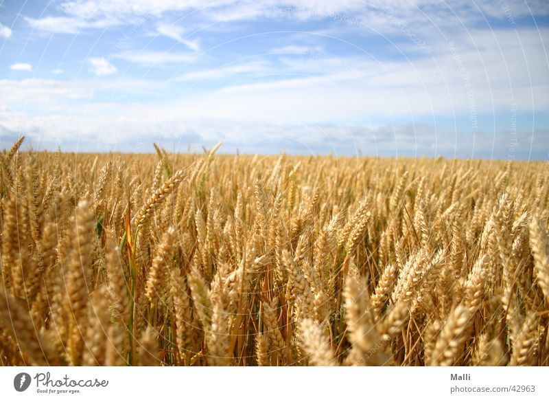 cereal sea Field Wheat Yellow Clouds Grain Sky Blue Gold Far-off places Sun Americas