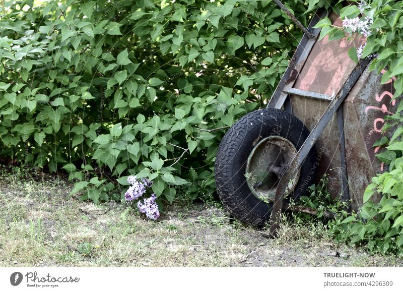 An old rusty wheelbarrow with thick black balloon tires tries to hide in a lilac bush, but doesn't quite succeed Wheelbarrow Garden Green Gardener Flieberbusch