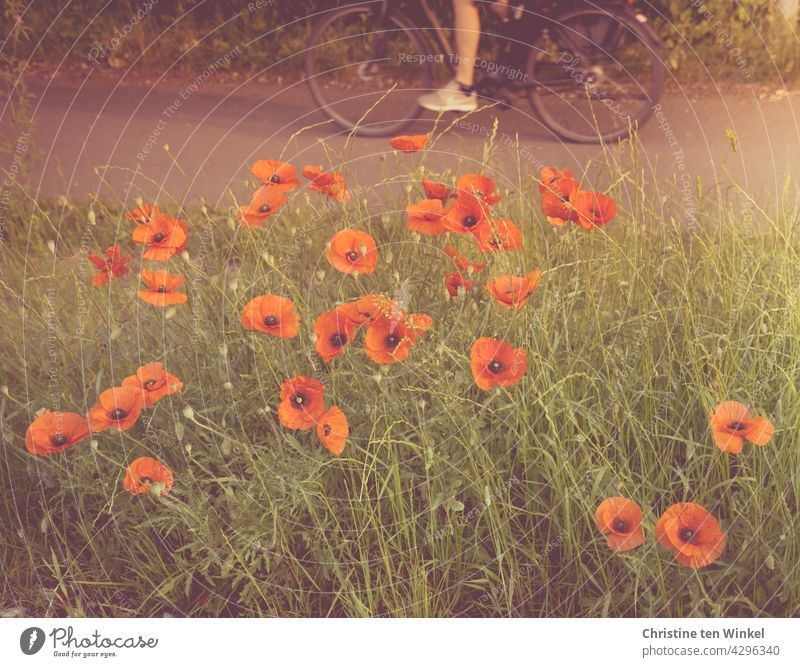 Poppies by the wayside and a cyclist on his morning commute to work Poppy Corn poppy Papaver rhoeas Escarpment Wayside cyclists Commute Leisure and hobbies