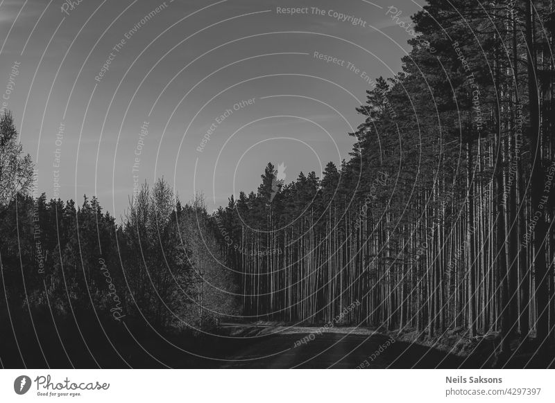 pine forest in Latvia. Black and white spring sunset version. path road dirt sunlight edge warm coniferous landscape way countryside wood area scenery summer