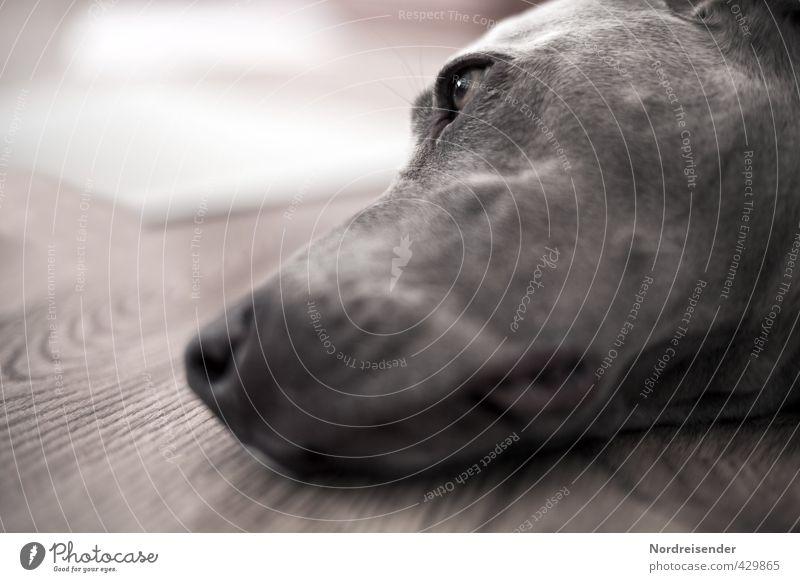 Dog Relaxation Animal Love Dream Brown Esthetic Observe Break Fatigue Pet Dreamily Peaceful Love of animals Grateful Weimaraner