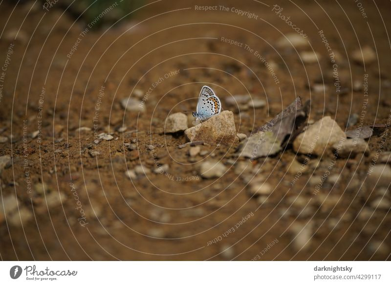 Butterfly, Geißklee-Bläuling, Argus-Bläuling, Plebejus argus with closed wings on brown soil soaked by rain butterflies Day Exterior shot Deserted Grand piano