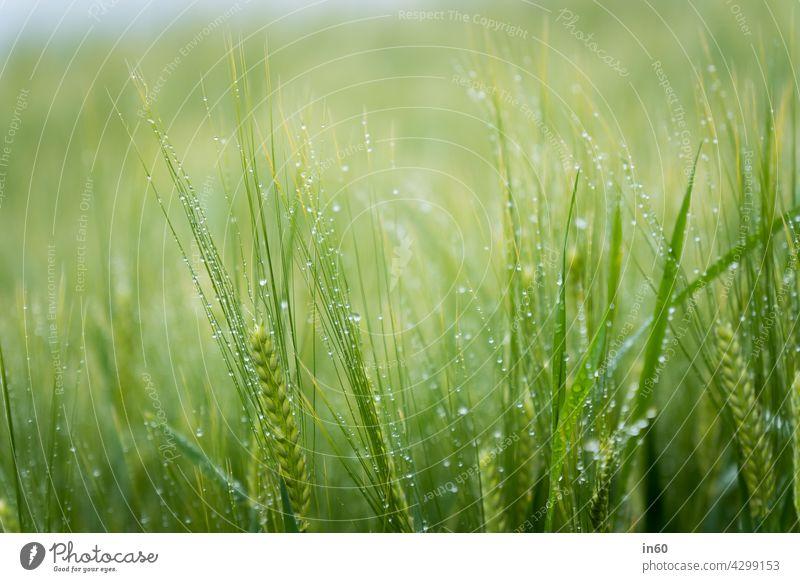 Wheat field with dew Green Field Grain Summer