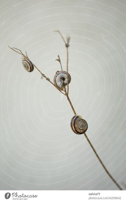 three small snails have stuck to plant stems Nature Snail shell 3 Animal Crumpet Protection overnight tranquillity Small Plant stems Macro (Extreme close-up)