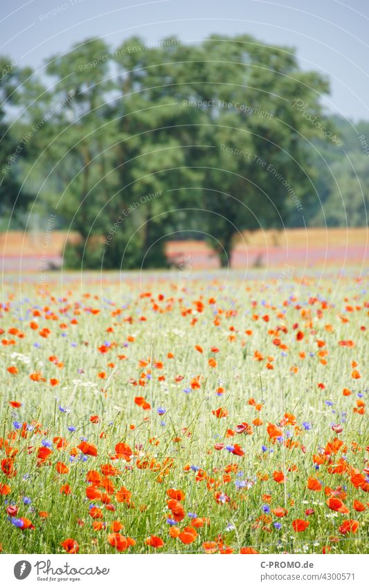 Grain field with poppies and cornflowers Cornflower colourful Sky Clouds acre agrarian Wayside Tree Field sea of flowers