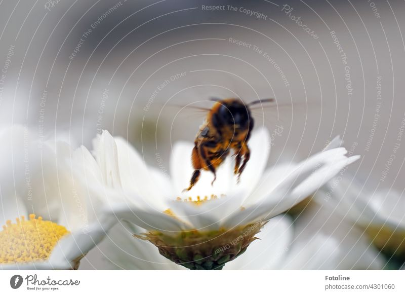 And take off! This flower has been worked off. The bee takes off and flies to the next flower. Bee Insect margarita Flower Blossom Summer Pollen