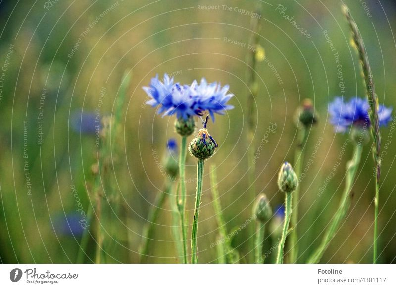 That blue! Fotoline just ALWAYS has to stop at cornflowers. They are so beautiful! cornflower field Nature Summer Plant Field Exterior shot Colour photo