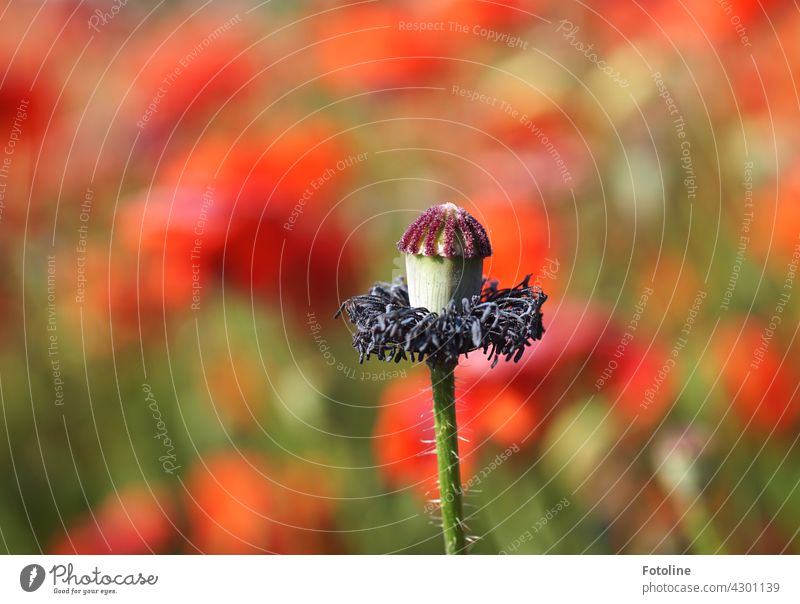 When the hairdresser is closed on Mo(h)ntag. Poppy Flower Blossom Red Nature Summer Plant Poppy blossom Colour photo Poppy field Exterior shot Field Meadow