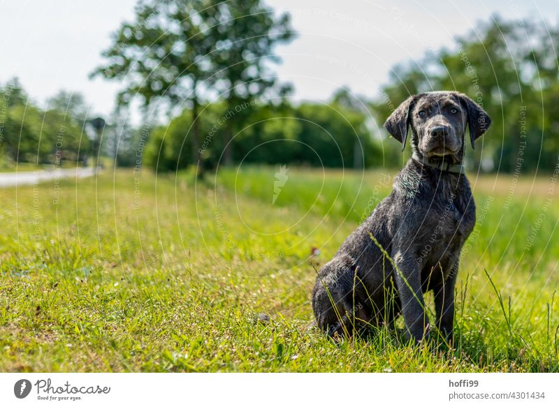 a young dog sits on the meadow Puppydog eyes Animal portrait Dog's snout Looking Meadow Green Sit Wait Dog's head Animal face Looking into the camera Pelt