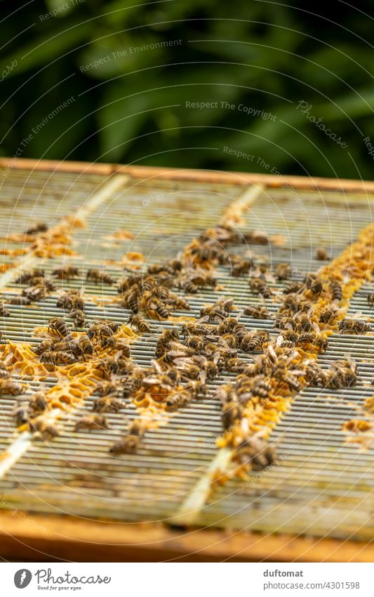 Bees on open hive building honeycomb Nature bees naturally Insect insects Animal Macro (Extreme close-up) Couple Close-up Grand piano animals wildlife Pollen