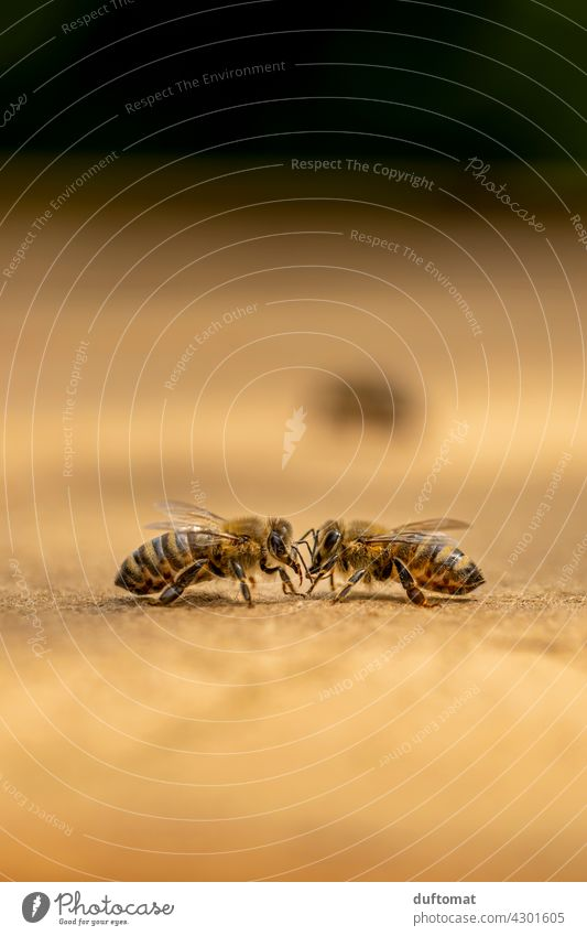 Macro photo of two bees scanning each other Bee Nature naturally Insect insects Animal Macro (Extreme close-up) Couple Close-up Grand piano animals wildlife