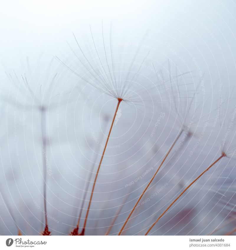 romantic dandelion seed white background flower plant blue floral garden nature natural beautiful decorative decoration abstract textured soft softness