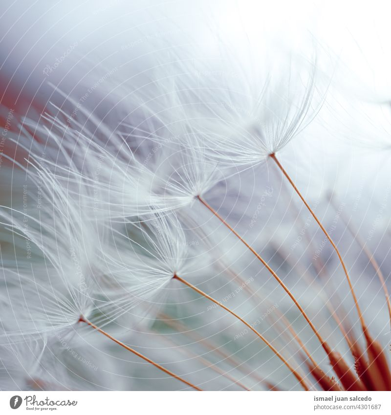 romantic dandelion flower seed in spring season plant floral garden nature natural beautiful abstract textured soft softness background fragility beauty autumn