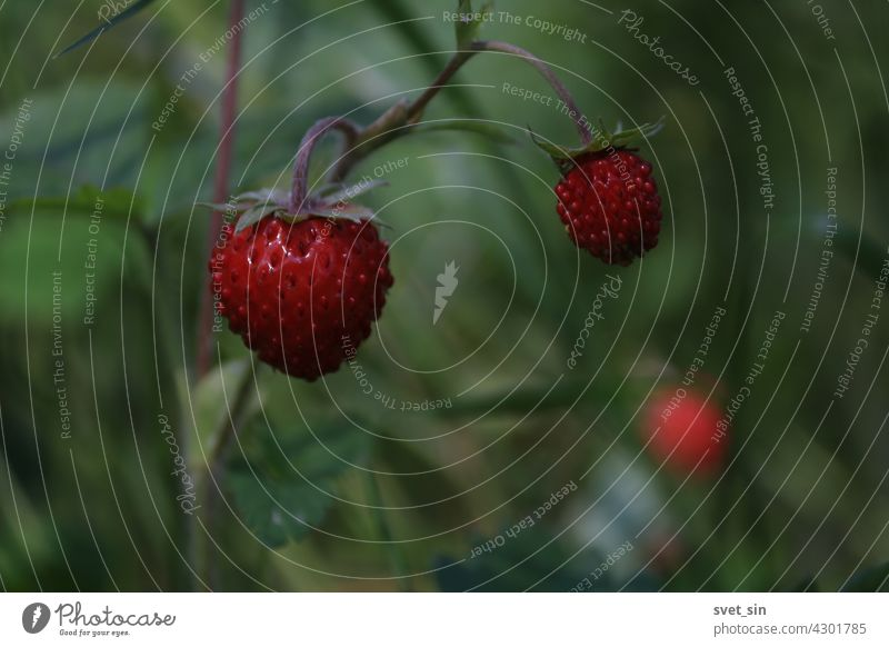 Fragaria vesca, alpine strawberry, wood strawberry, woodland strawberry. Wild strawberry bush with ripe shiny red berries on a green background. Ripe red berry close-up outdoors.