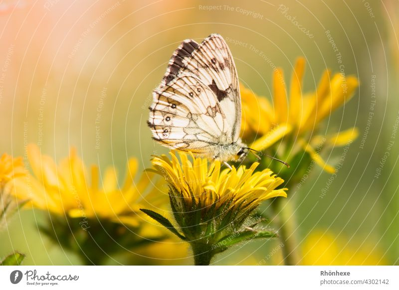 A small butterfly sits on a yellow flower Butterfly Insect Macro (Extreme close-up) Nature Close-up Deserted Shallow depth of field Colour photo Animal Day