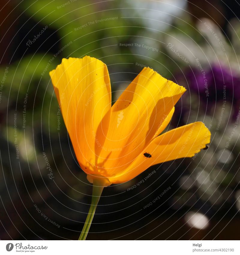Flower of the California poppy in backlight with a small black creepy crawly on the petal Poppy California red poppy nightcap California Poppy poppy plant