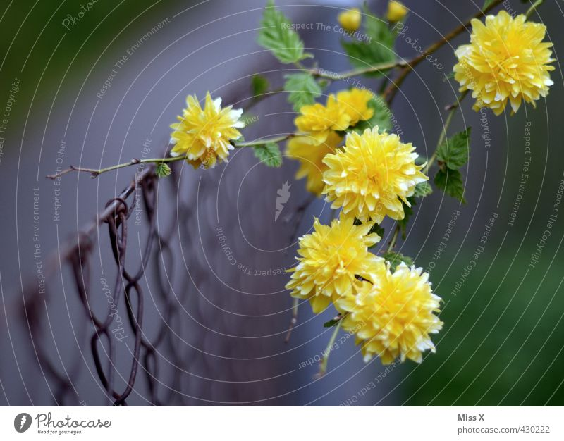 uncontrolled growth Garden Flower Blossom Blossoming Fragrance Growth Yellow Branch Twigs and branches Fence Metalware Wire Overgrown Tendril Spring flower