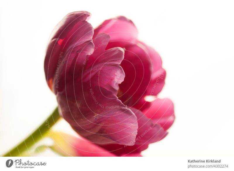 Pink Tulip with White Background tulip tulipa pink white still life closeup Nature Spring springtime easter Natural Plant Floral Flower florist red copy space