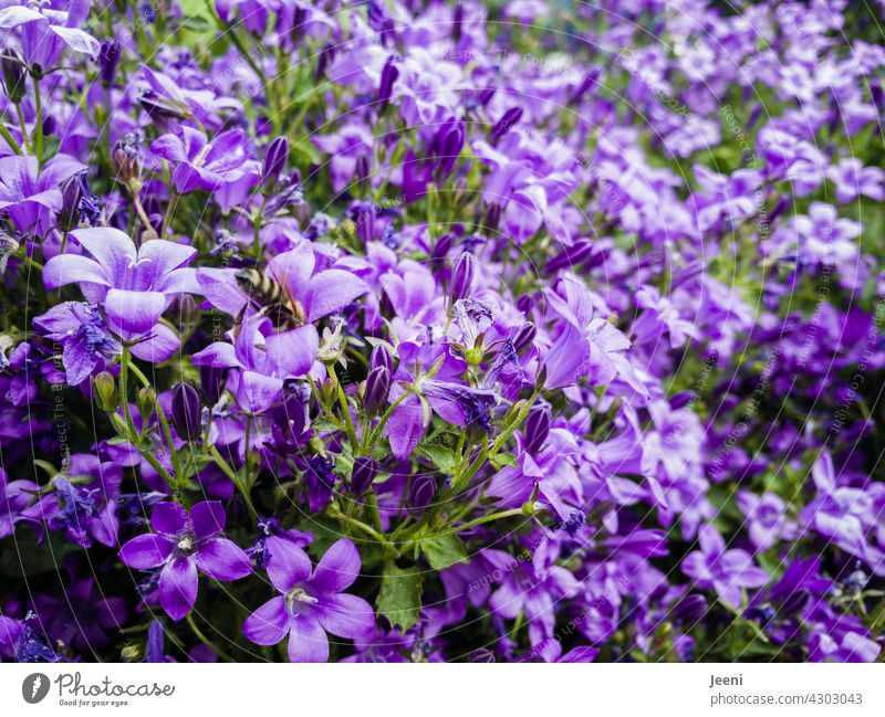 A bluebell paradise for bees Bluebell Flower Blossom Blossoming Blossom leave Garden herbaceous Plant Nature Summer Close-up Colour photo Exterior shot Detail