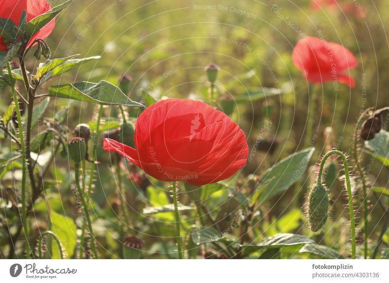 poppy blossoms Poppy Poppy blossom Flower Meadow Blossom Poppy field Corn poppy poppy meadow red poppy Red poppy seed capsules Summer Plant Nature Exterior shot