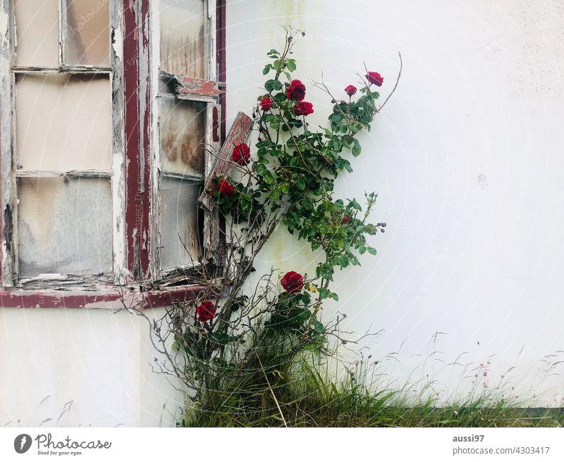 La vie en rose Window Window pane broken Slivered Plant Plant Power sight Looking Crack & Rip & Tear Shard Splinter Vandalism Exterior shot Colour photo Damage