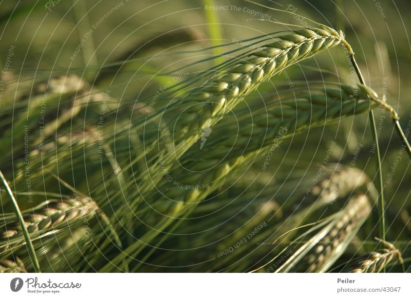 Green Field Grain Agriculture Agriculture Cornfield Ear of corn Barley Evening sun Coarse hair Barley ear