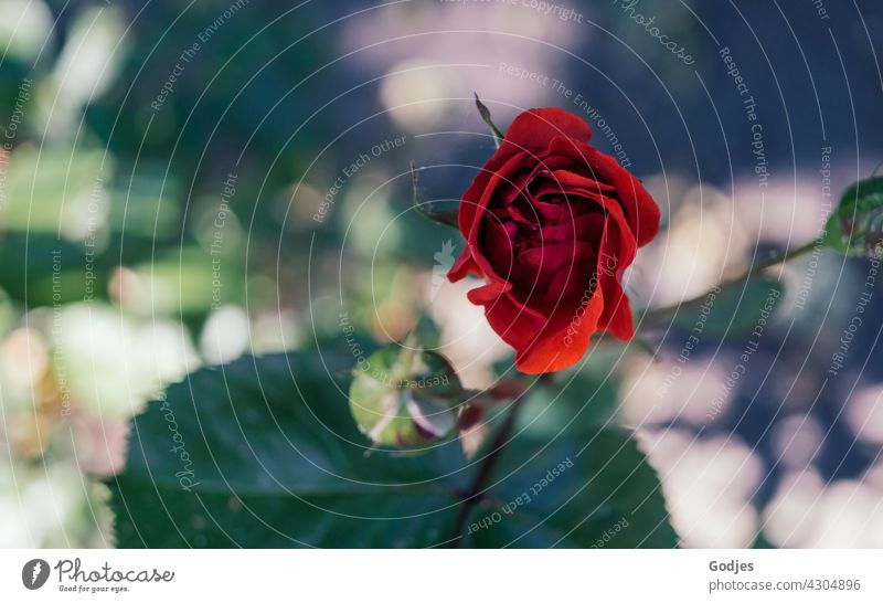 Red Rose | green, yellow, red pink Flower Colour photo Pink Exterior shot Close-up Blossom leave naturally Romance Love Plant decorations Nature