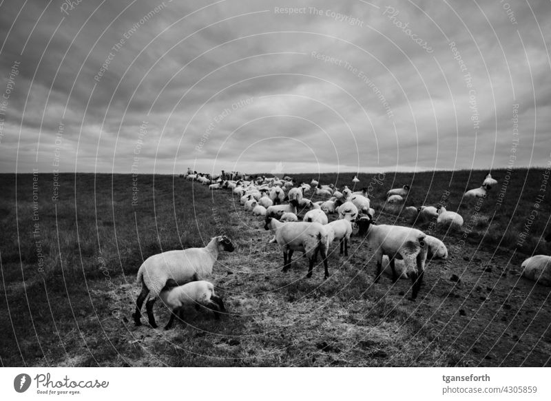 Pullover pigs on the dyke Sheep Flock sheep Sludgy off Dike coastal protection dike sheep Willow tree sweater pigs Herd Exterior shot Group of animals Wool