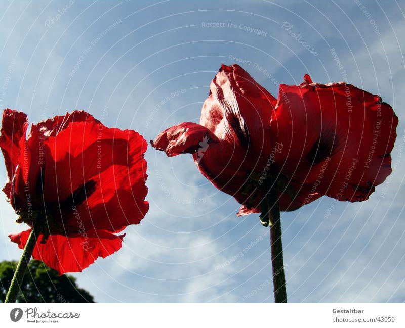 giant poppy Poppy Flower Red Back-light Limp Blossom Formulated Sky
