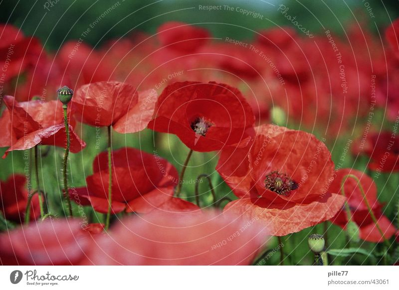 Nature Green Red Meadow Poppy Poppy field