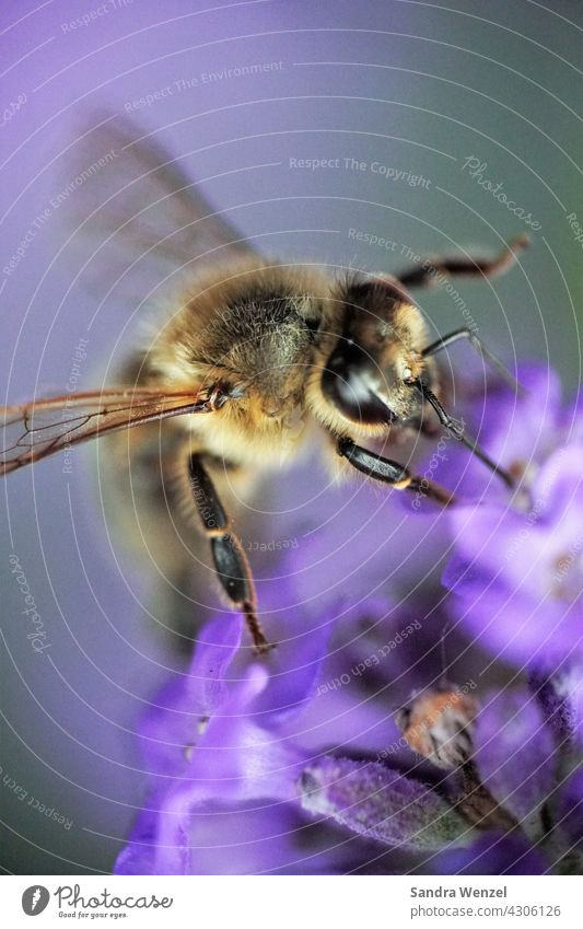 bee Bee Nectar Honey wild bee Honey bee Bee-keeper insects die of insects bee deaths extinction Endangered species Lavender macro photography Useful Life