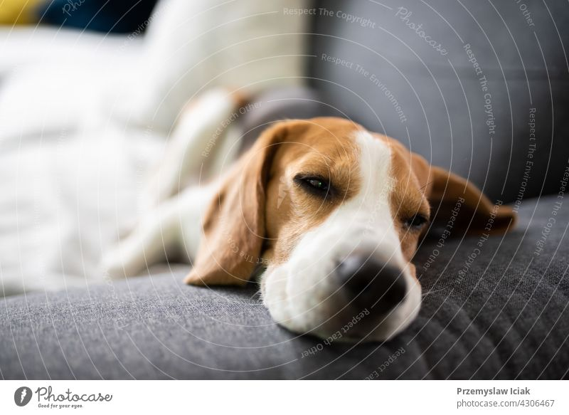 Beagle dog tired sleeps on a couch background house nature animal interior lounge lying mammal modern pedigreed portrait relaxation rest resting room sleepy