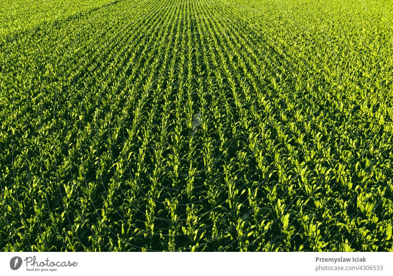 Low altitude aerial photo of rows of maize plant. background food pattern summer nature leaf spring agriculture cornfield scene fresh staple landscape horizon