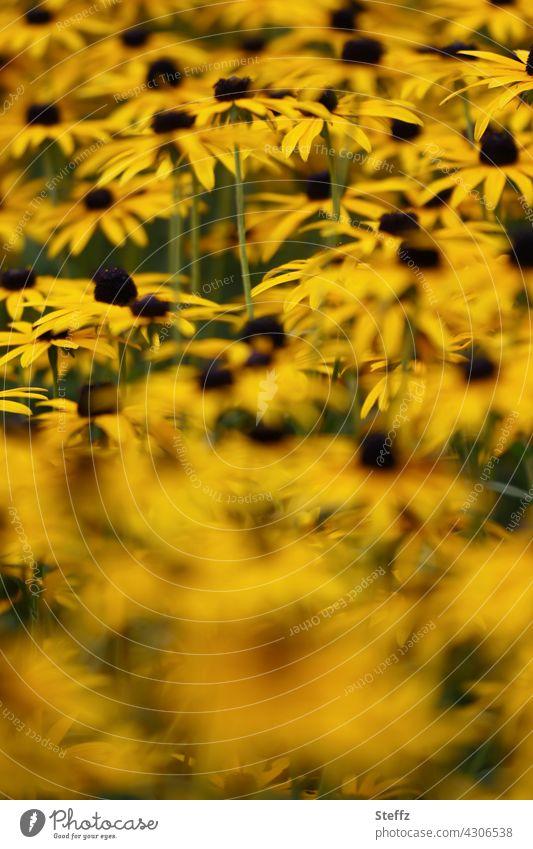 Perennial bed with coneflower Yellow sun hat Rudbeckia rudbeckia fulgida Flowerbed Carpet of flowers common coneflower yellow flowers sea of blossoms