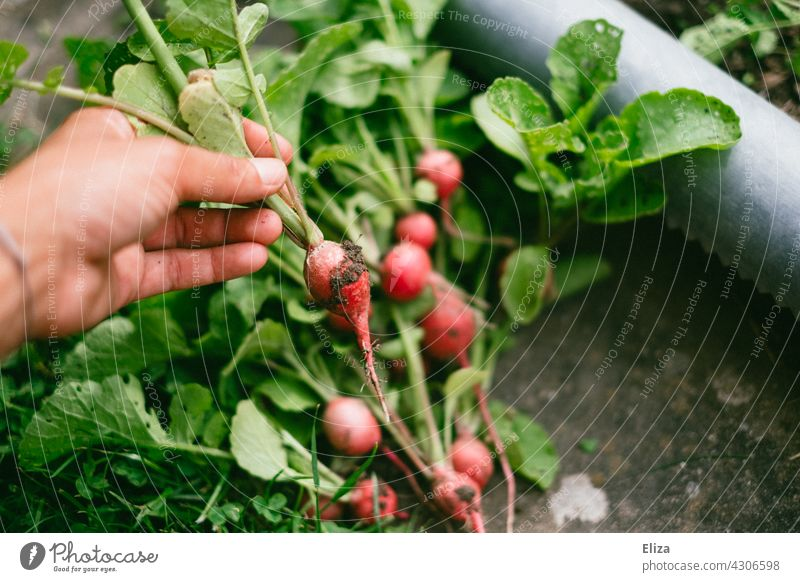 Person holding freshly harvested radish in hand Radish reap Garden prate Extend Vegetable Self-supply Gardening Harvest Fresh salubriously Food do gardening