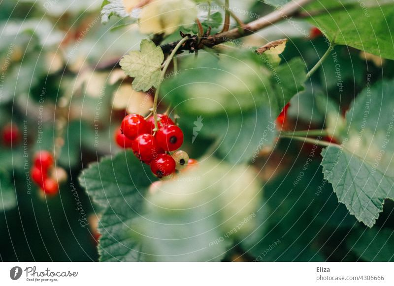 Red currants on the bush red currants Redcurrant Delicious Berries Fruit Mature shrub Redcurrant bush Garden Summer Green