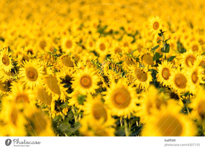 many, many sunflowers Sunflower field Yellow Summer Field Flower Plant pretty Blossom Blossoming Blossom leave Nature Sunlight Bright colourful