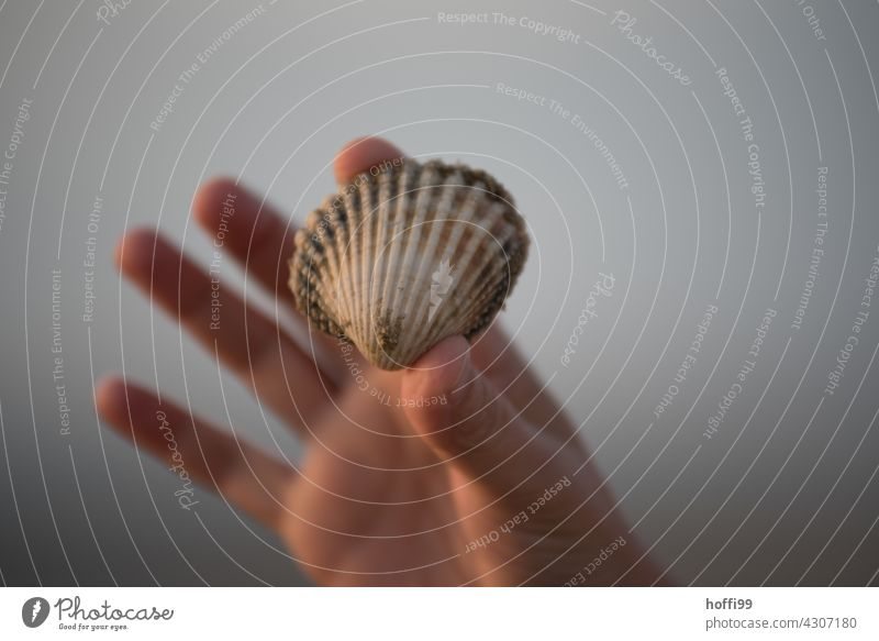 a mussel shell found in the mudflats is held up high Mussel shell search Mud flats shell collect coast Low tide High tide ebb and flow Wet Island Sand Water