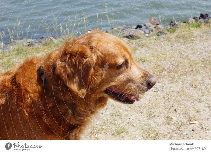 A Golden Retriever on the beach Dog Animal Colour photo Animal portrait Animal face Relaxation Eyes Lifestyle retriever