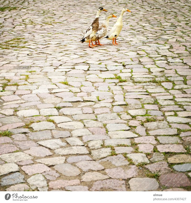 Three pied Indian runner ducks on old cobblestone / penguin ducks / bottle ducks / snail exterminators Common Duck Indian Common Duck Snail Control
