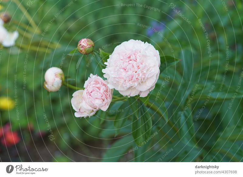 Pink colored peony and some other flowers in rich green. Peony Blossom Plant Nature Colour photo pretty Close-up Flower Garden Park Summer Paeonia Day Esthetic