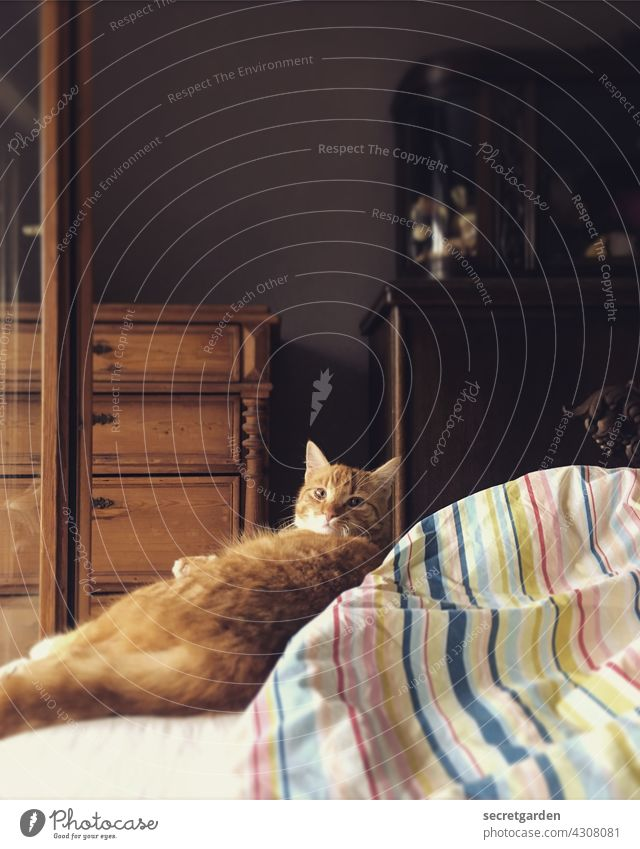 When are you gonna get up and play with me? Bed Cat Cozy admonishing Flat (apartment) at home Bedclothes Red hangover Pet Animal Domestic cat Pelt