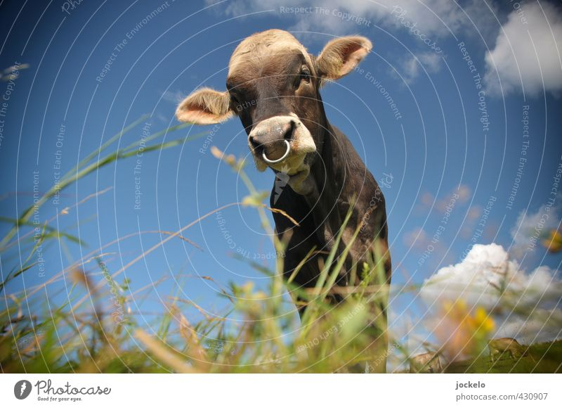 Bull's eye Nature Landscape Summer Meadow Field Alps Mountain Animal Pet Farm animal Cow 1 Feeding Blue Brown Multicoloured Yellow Green Pride Colour photo