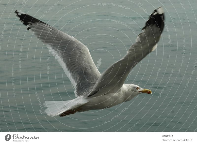 Free flight Seagull Lake Ocean Bird Beak Gray Flying Wing